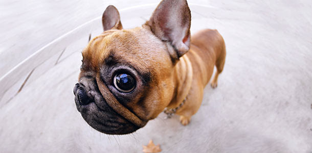 Photo of a cute French Bulldog through a fish eye lens